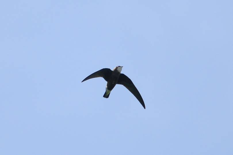 Bird: Spine tailed swift, speed= 171 KMPH. bdcom.ca