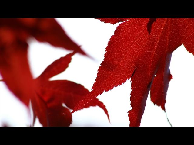 japaniese-maple-920x1080